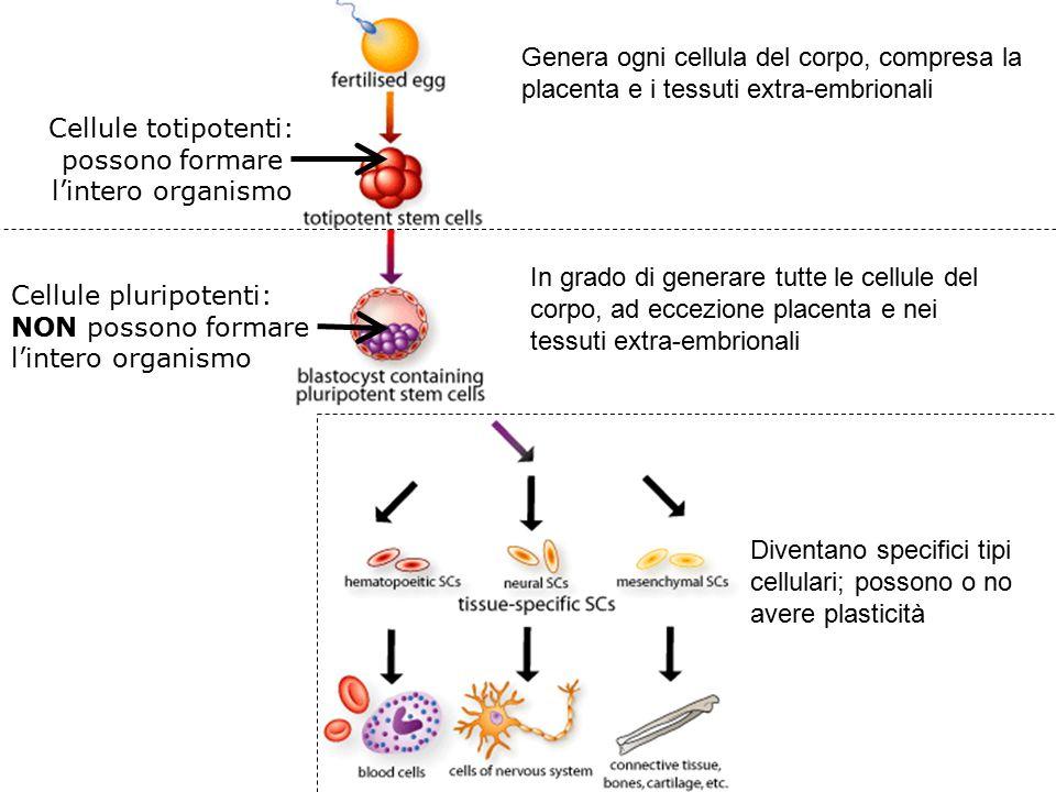 Cellule totipotenti: possono formare l'intero organismo