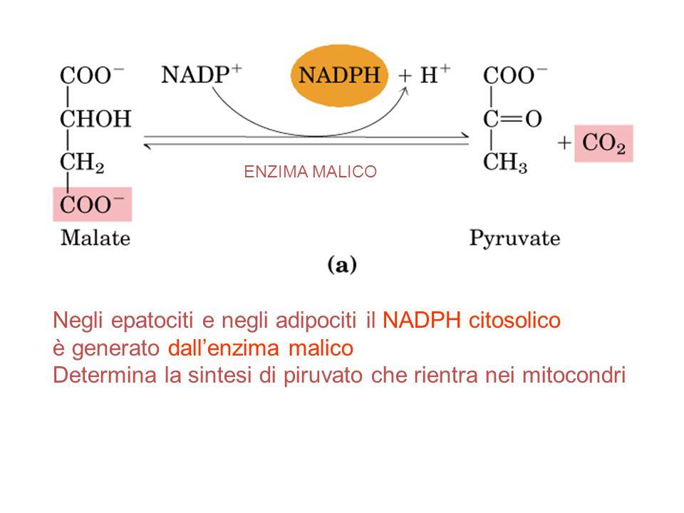 Negli epatociti e negli adipociti il NADPH citosolico