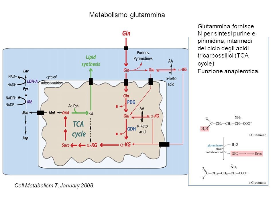 Metabolismo glutammina