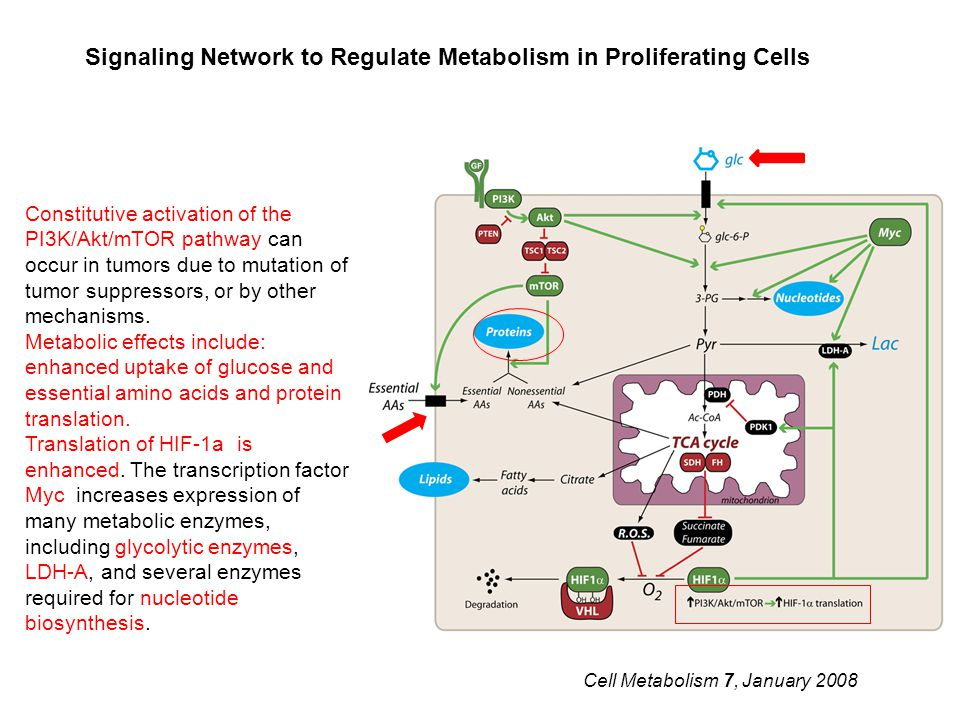 Signaling Network to Regulate Metabolism in Proliferating Cells