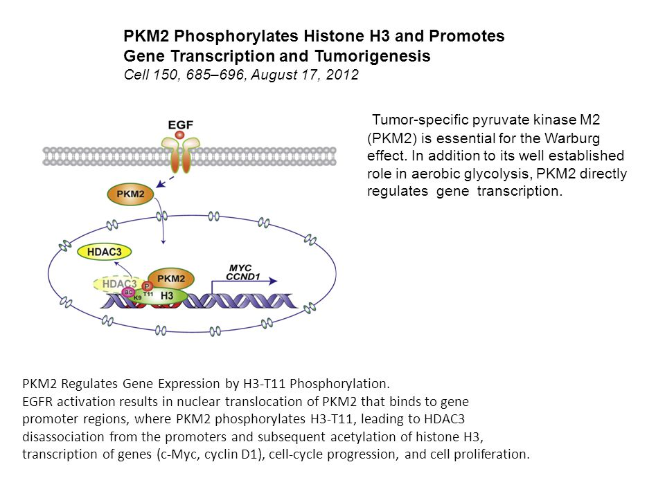 PKM2 Phosphorylates Histone H3 and Promotes Gene Transcription and Tumorigenesis