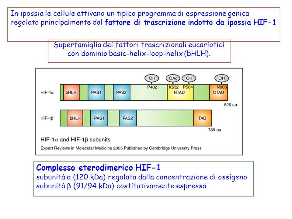 Complesso eterodimerico HIF-1