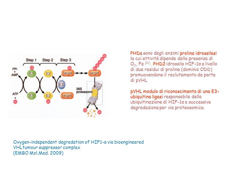 PHDs sono degli enzimi prolina idrossilasi la cui attività dipende dalla presenza di O2, Fe (2+). PHD2 idrossila HIF-1α a livello di due residui di prolina (dominio ODD) promuovendone il reclutamento da parte di pVHL
