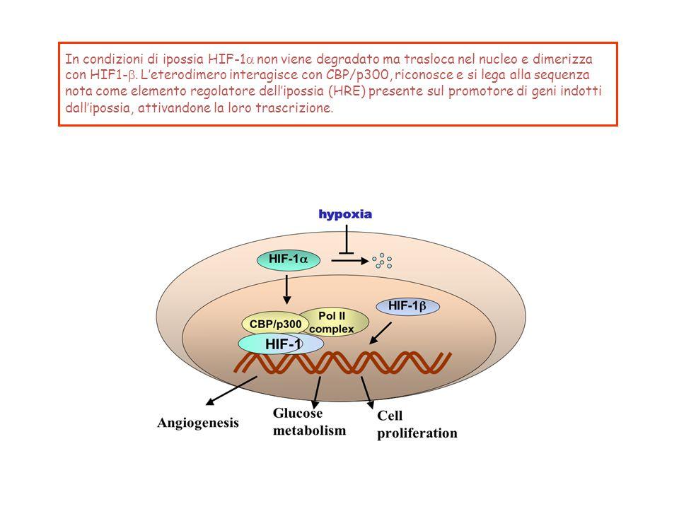 In condizioni di ipossia HIF-1a non viene degradato ma trasloca nel nucleo e dimerizza con HIF1-b.