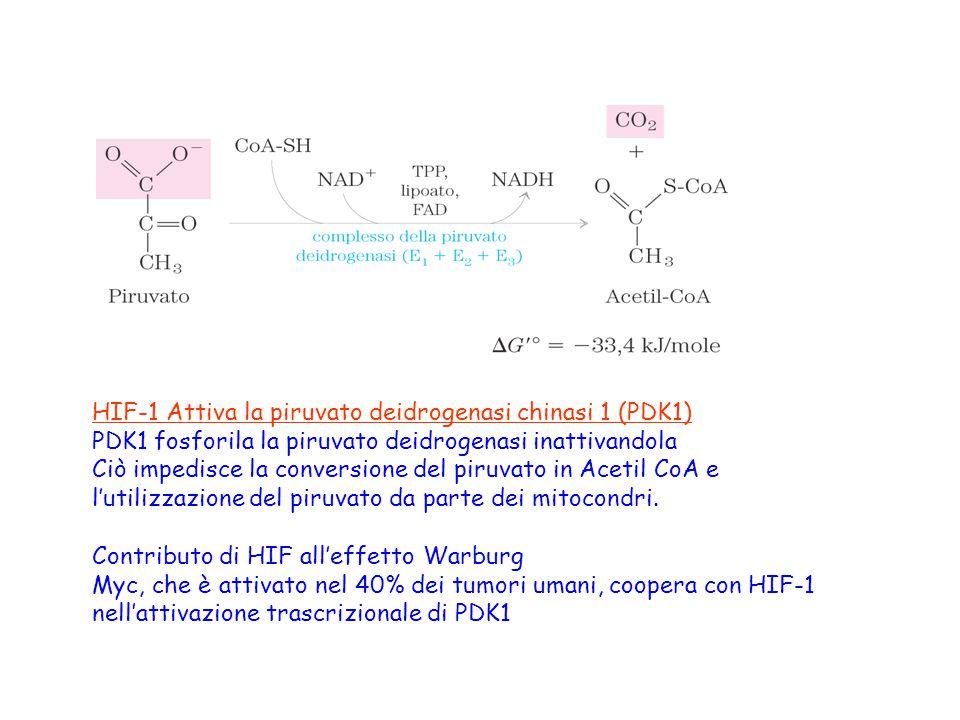 HIF-1 Attiva la piruvato deidrogenasi chinasi 1 (PDK1)