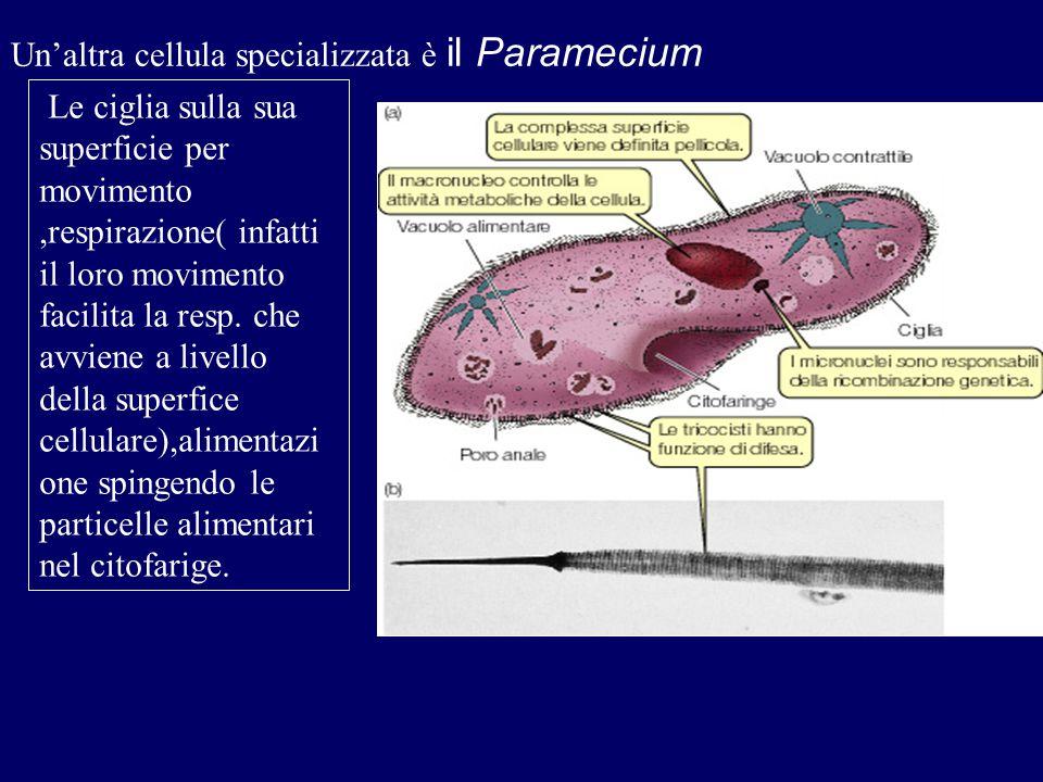 Un'altra cellula specializzata è il Paramecium