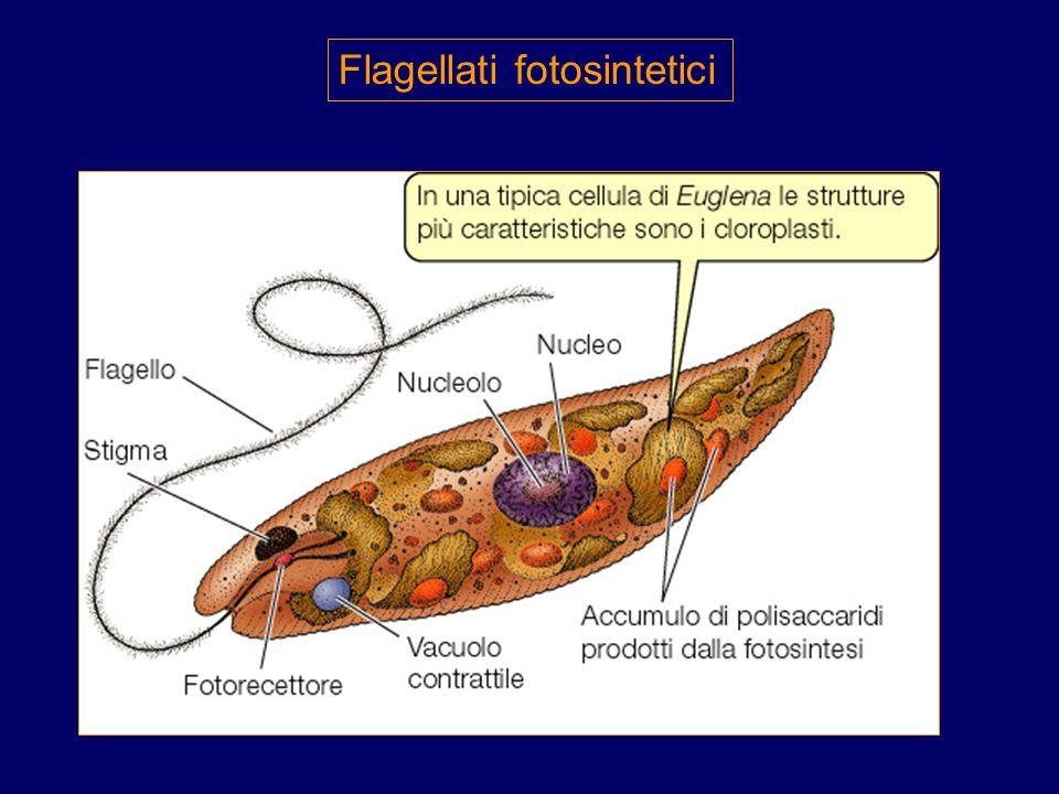 Flagellati fotosintetici