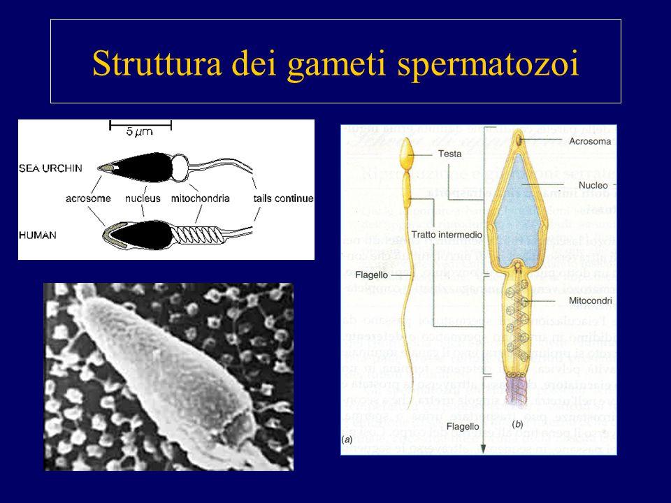 Struttura dei gameti spermatozoi