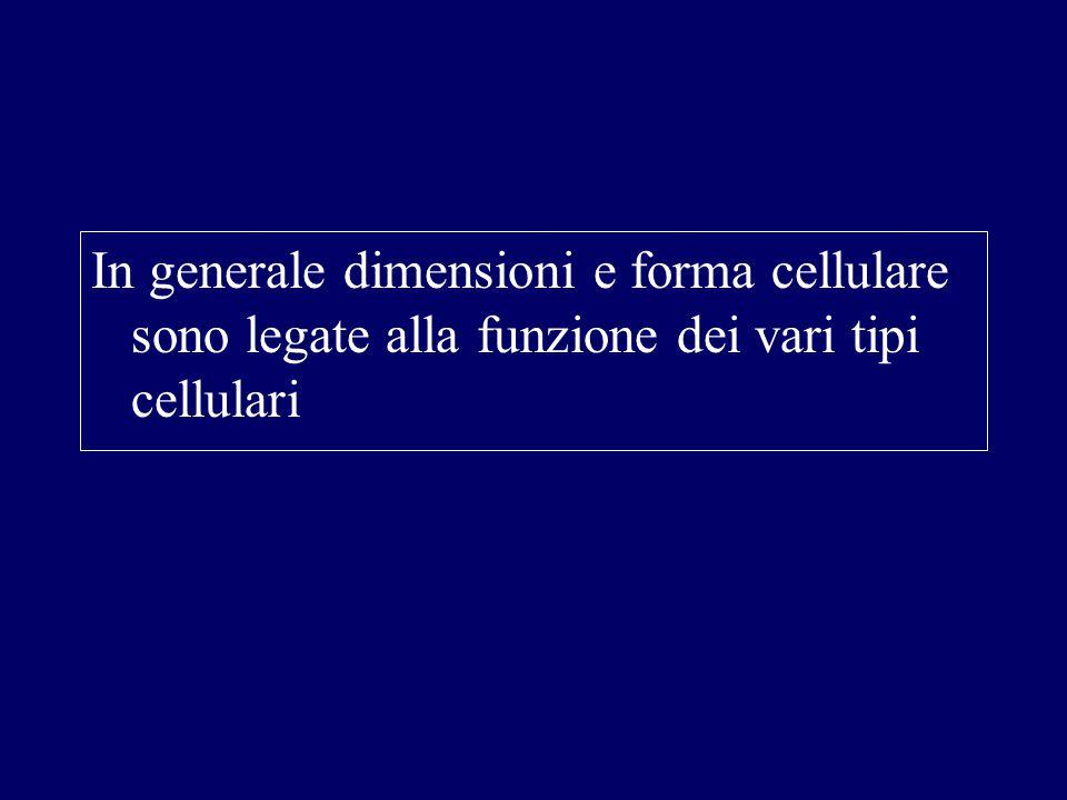 In generale dimensioni e forma cellulare sono legate alla funzione dei vari tipi cellulari