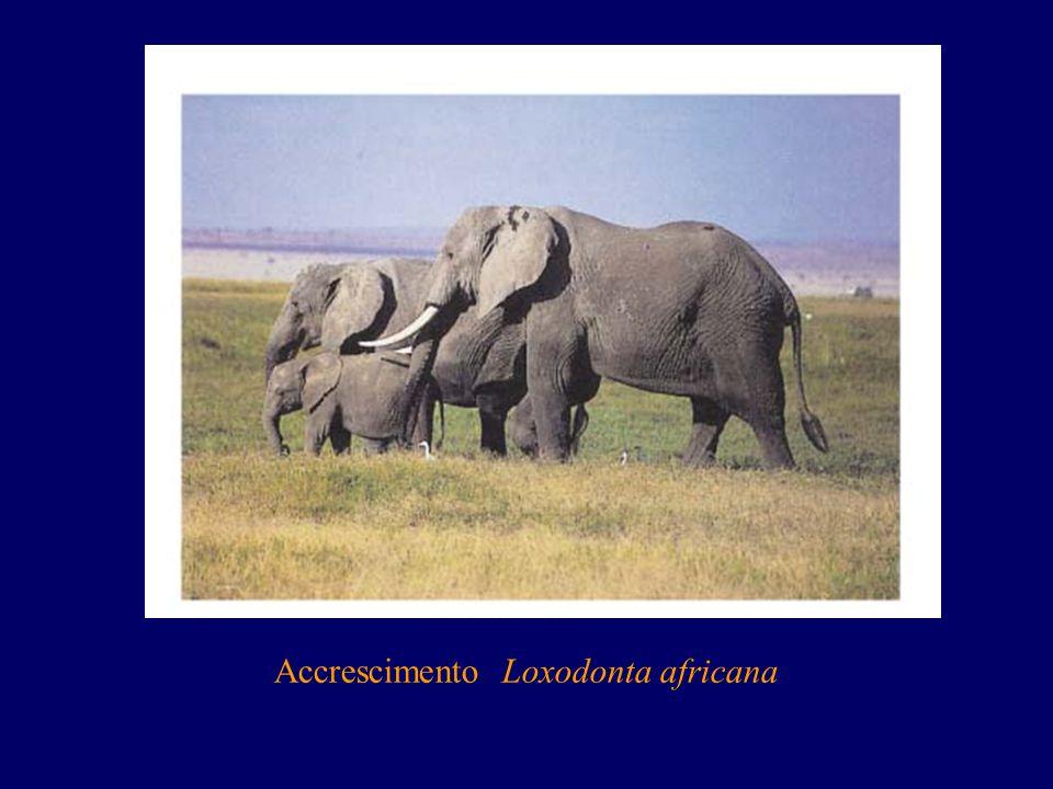 Accrescimento Loxodonta africana