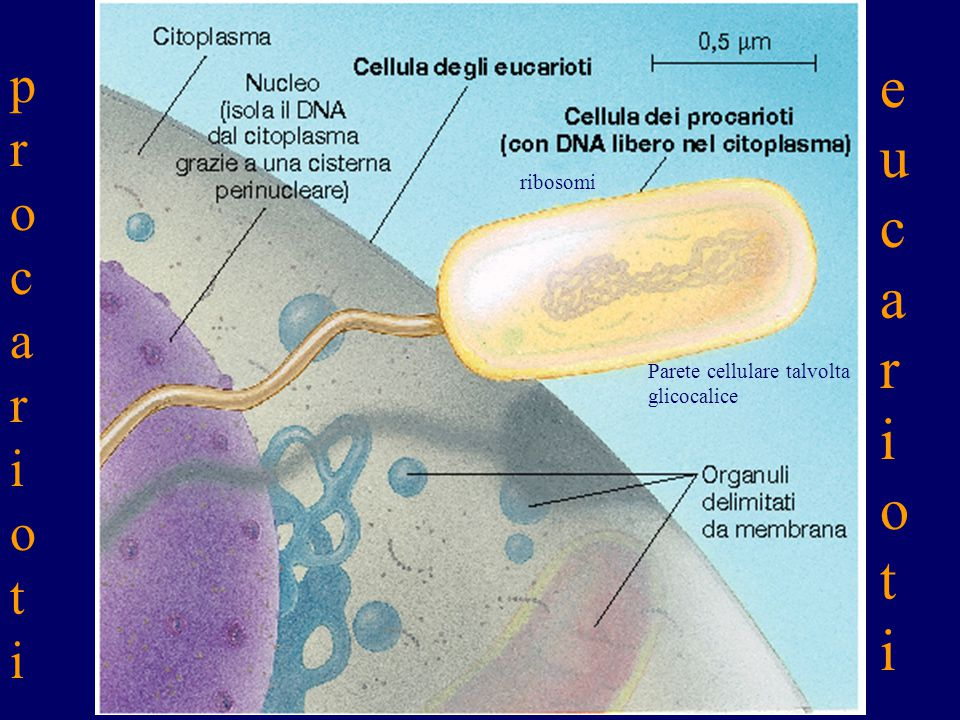 eucarioti procarioti ribosomi Parete cellulare talvolta glicocalice