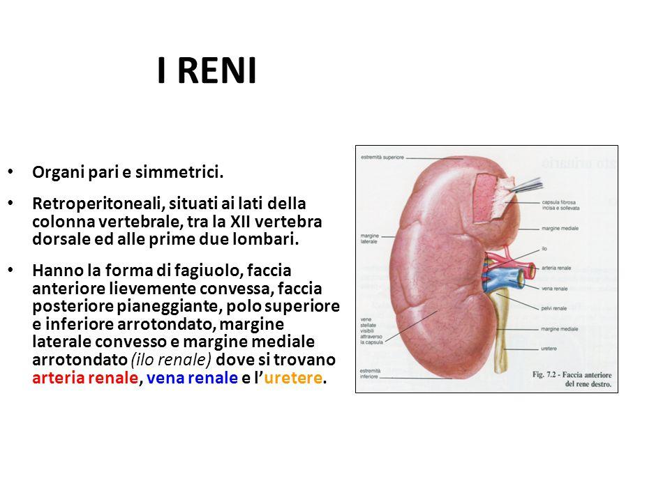 I RENI Organi pari e simmetrici.