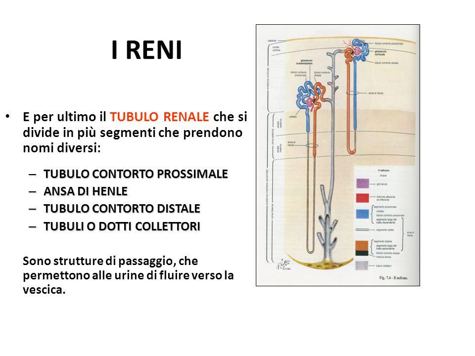 I RENI E per ultimo il TUBULO RENALE che si divide in più segmenti che prendono nomi diversi: TUBULO CONTORTO PROSSIMALE.