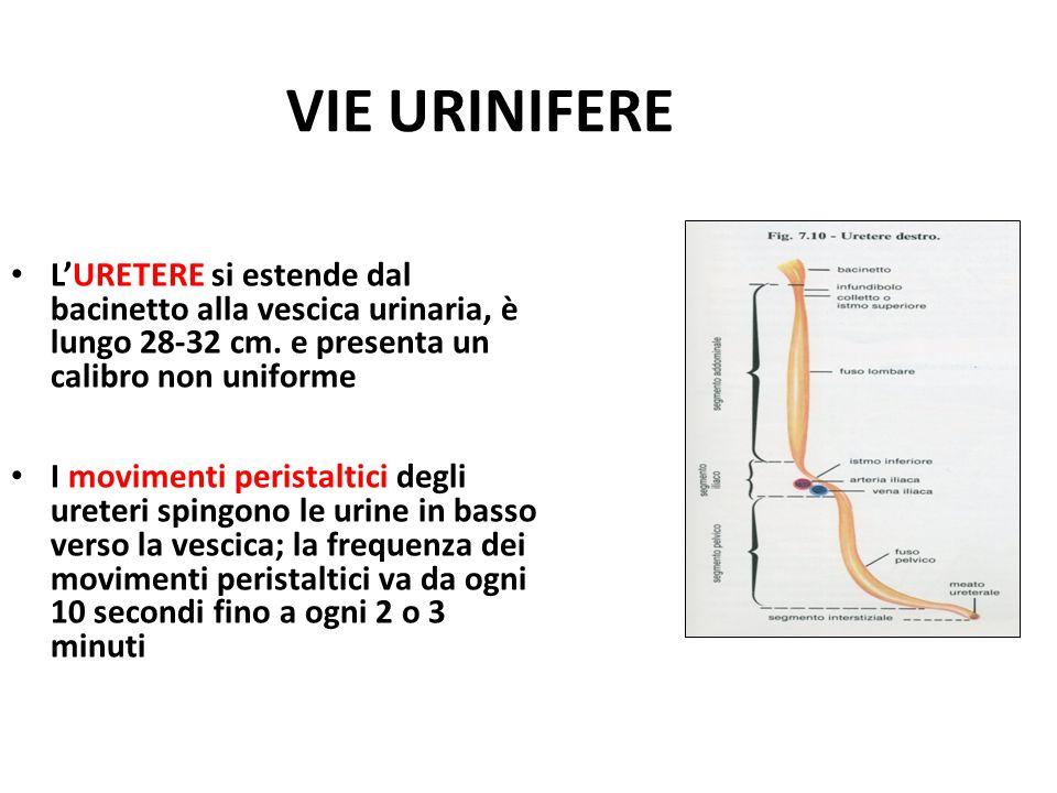 VIE URINIFERE L'URETERE si estende dal bacinetto alla vescica urinaria, è lungo 28-32 cm. e presenta un calibro non uniforme.