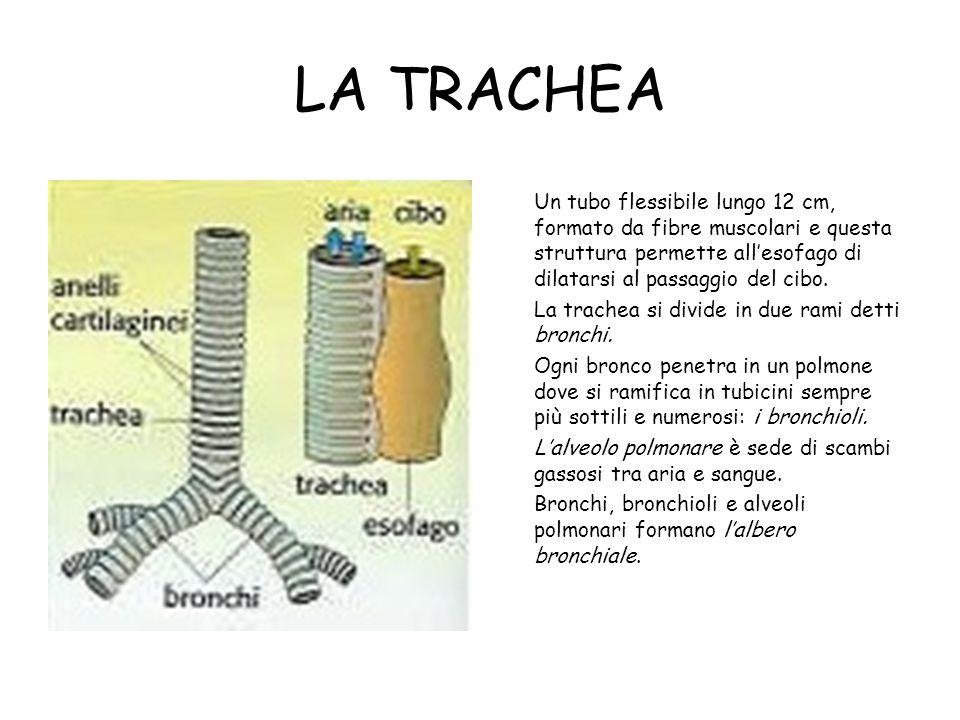 LA TRACHEA Un tubo flessibile lungo 12 cm, formato da fibre muscolari e questa struttura permette all'esofago di dilatarsi al passaggio del cibo.