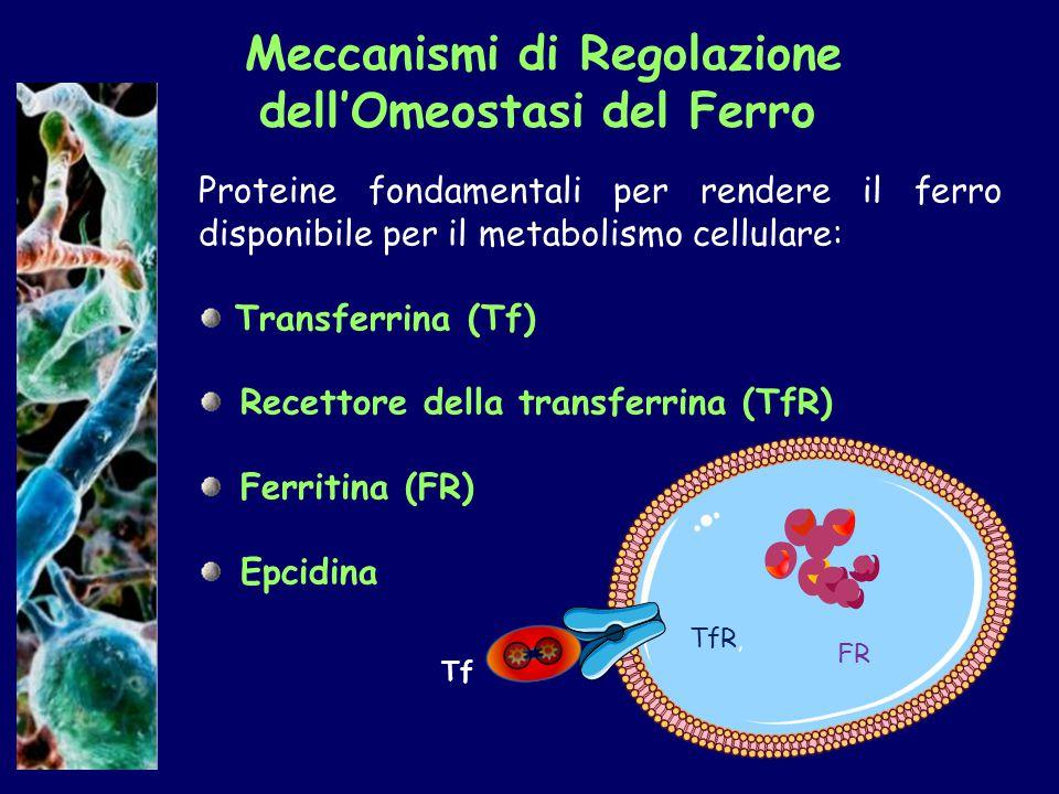 Meccanismi di Regolazione dell'Omeostasi del Ferro