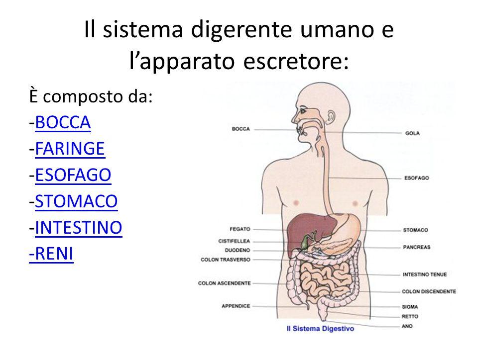 Il sistema digerente umano e l'apparato escretore:
