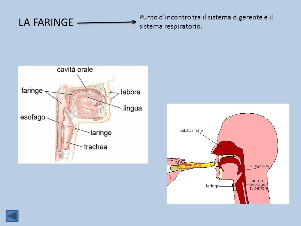 Punto d'incontro tra il sistema digerente e il sistema respiratorio.
