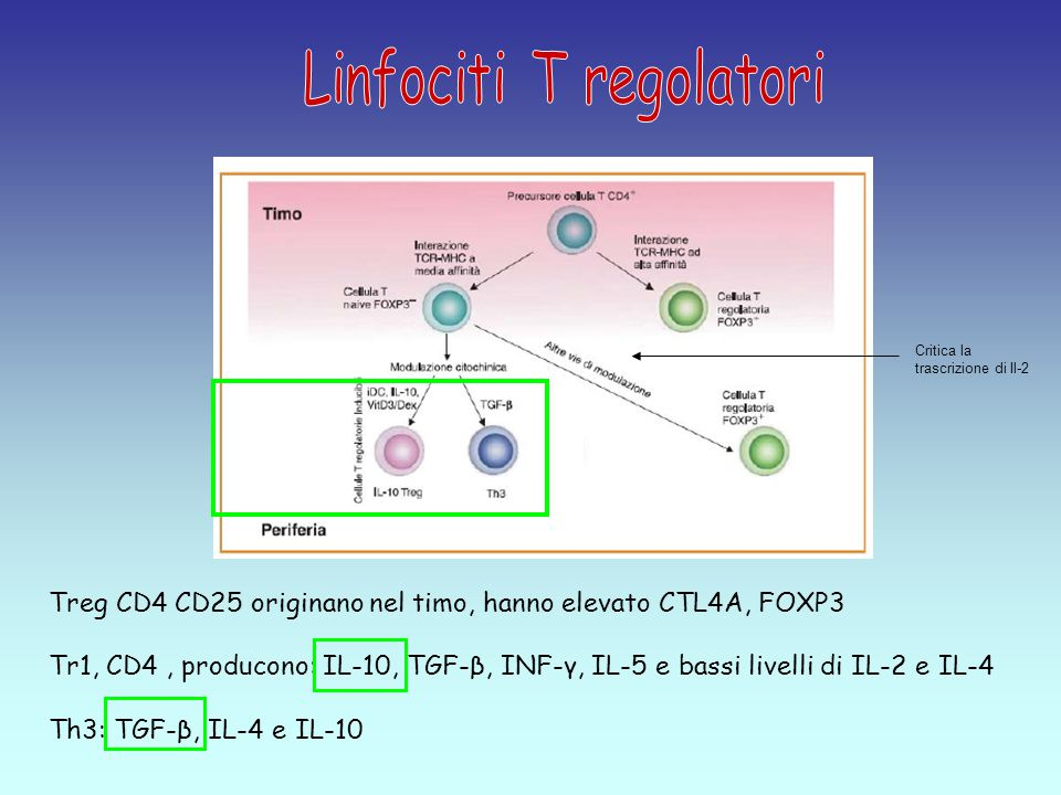 Linfociti T regolatori