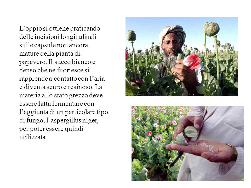 L'oppio si ottiene praticando delle incisioni longitudinali sulle capsule non ancora mature della pianta di papavero.