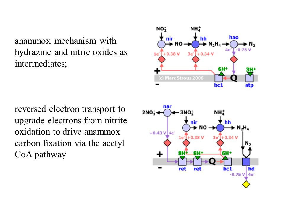 anammox mechanism with hydrazine and nitric oxides as intermediates;