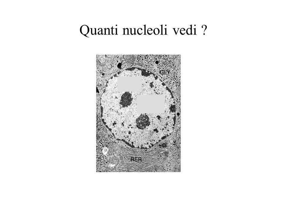 Quanti nucleoli vedi