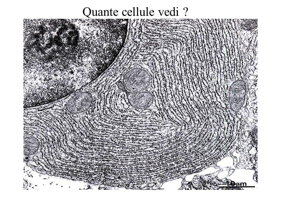 Quante cellule vedi
