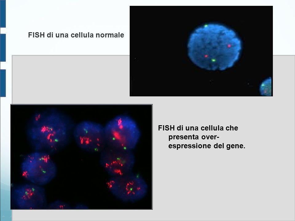 FISH di una cellula normale