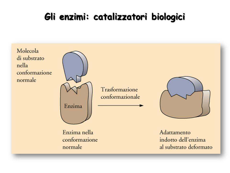 Gli enzimi: catalizzatori biologici