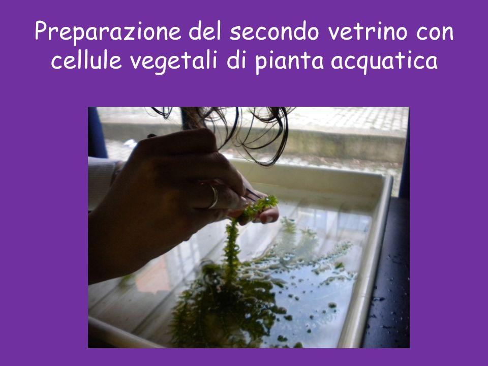 Preparazione del secondo vetrino con cellule vegetali di pianta acquatica