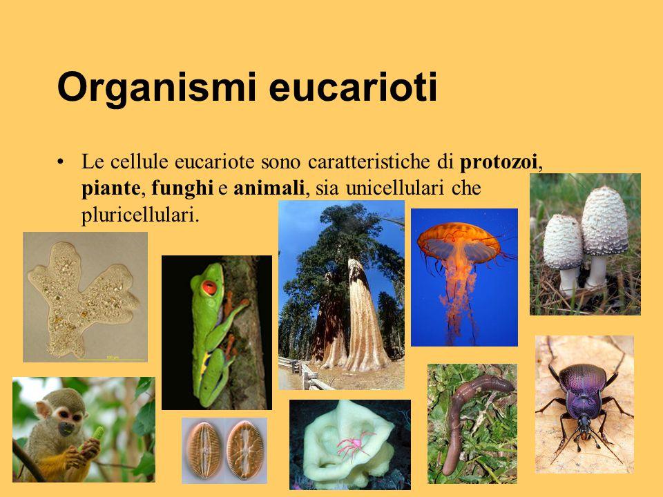 Organismi eucarioti Le cellule eucariote sono caratteristiche di protozoi, piante, funghi e animali, sia unicellulari che pluricellulari.