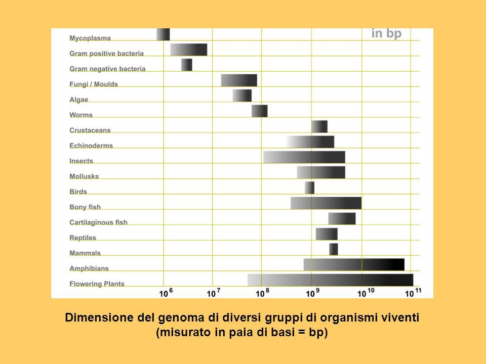 Dimensione del genoma di diversi gruppi di organismi viventi (misurato in paia di basi = bp)