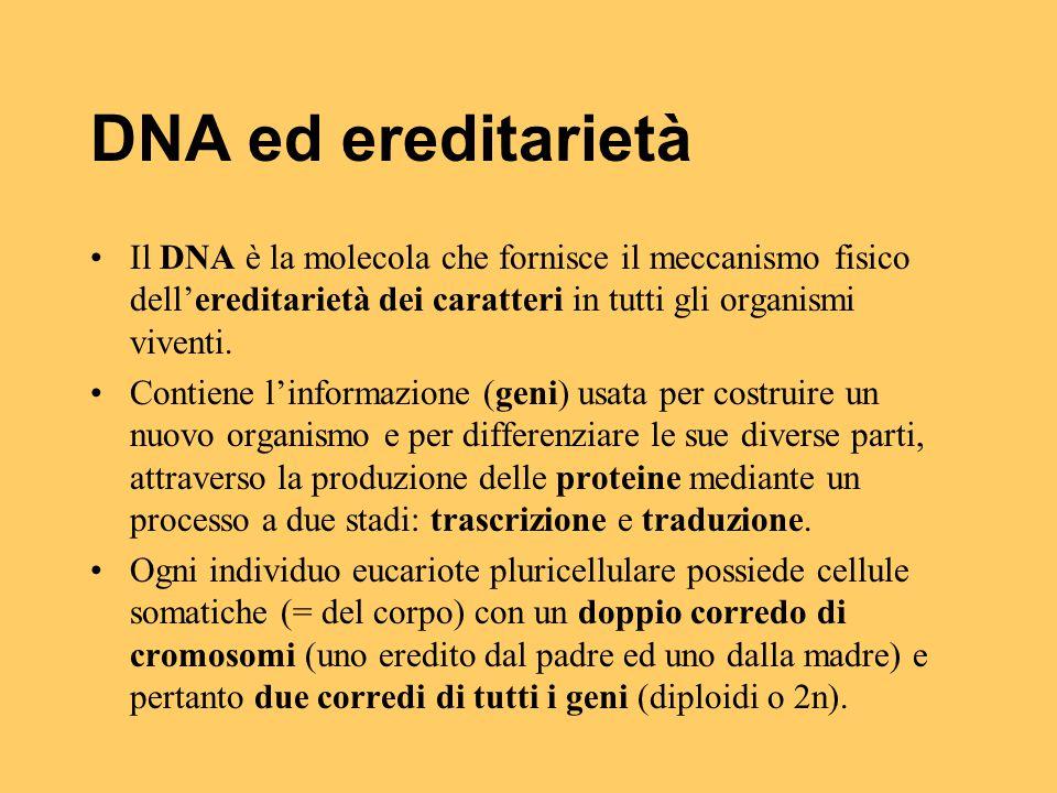 DNA ed ereditarietà Il DNA è la molecola che fornisce il meccanismo fisico dell'ereditarietà dei caratteri in tutti gli organismi viventi.