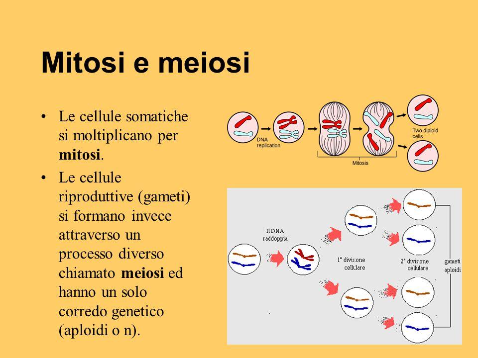 Mitosi e meiosi Le cellule somatiche si moltiplicano per mitosi.