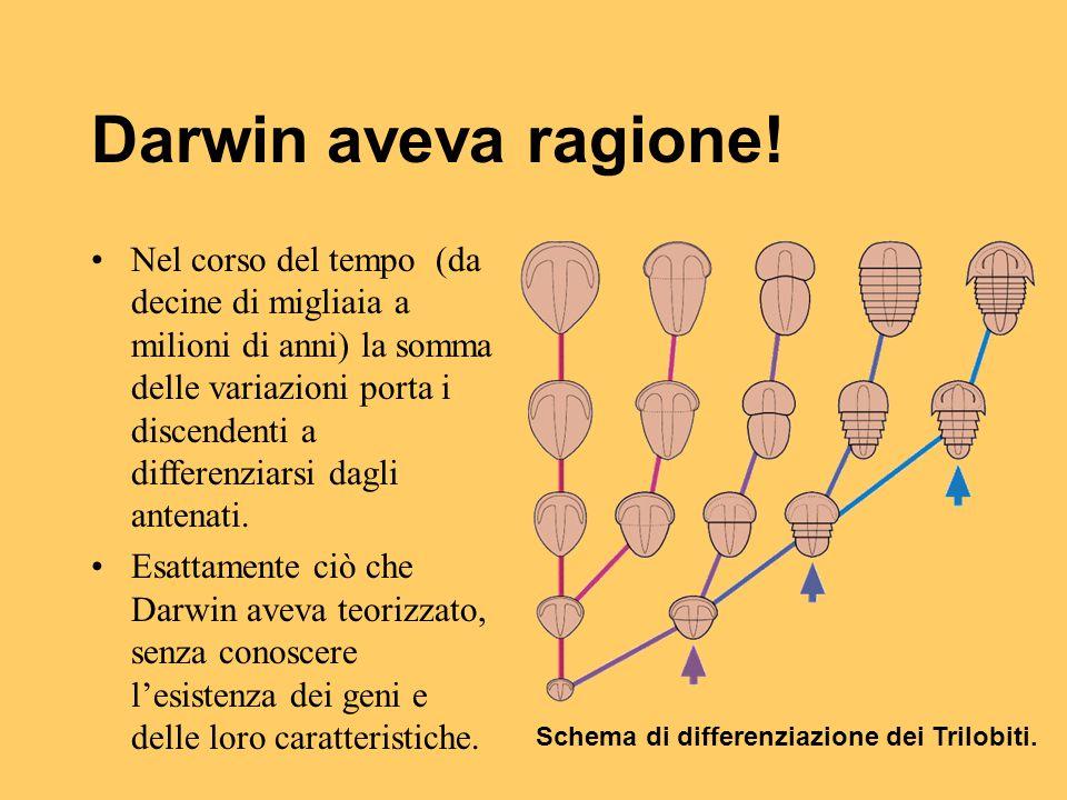 Schema di differenziazione dei Trilobiti.