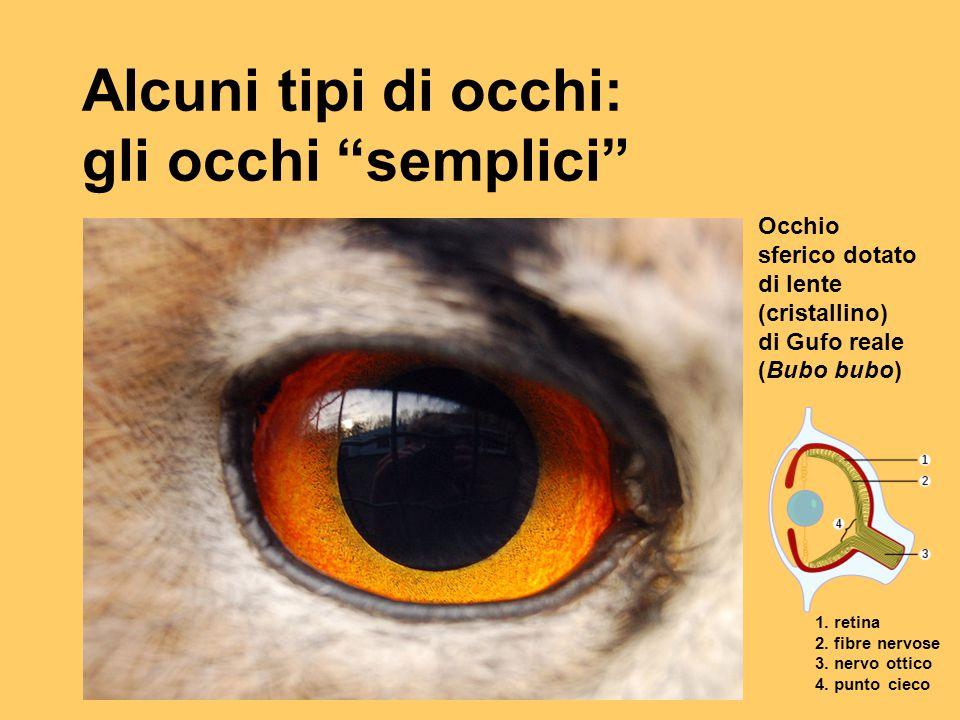 Alcuni tipi di occhi: gli occhi semplici