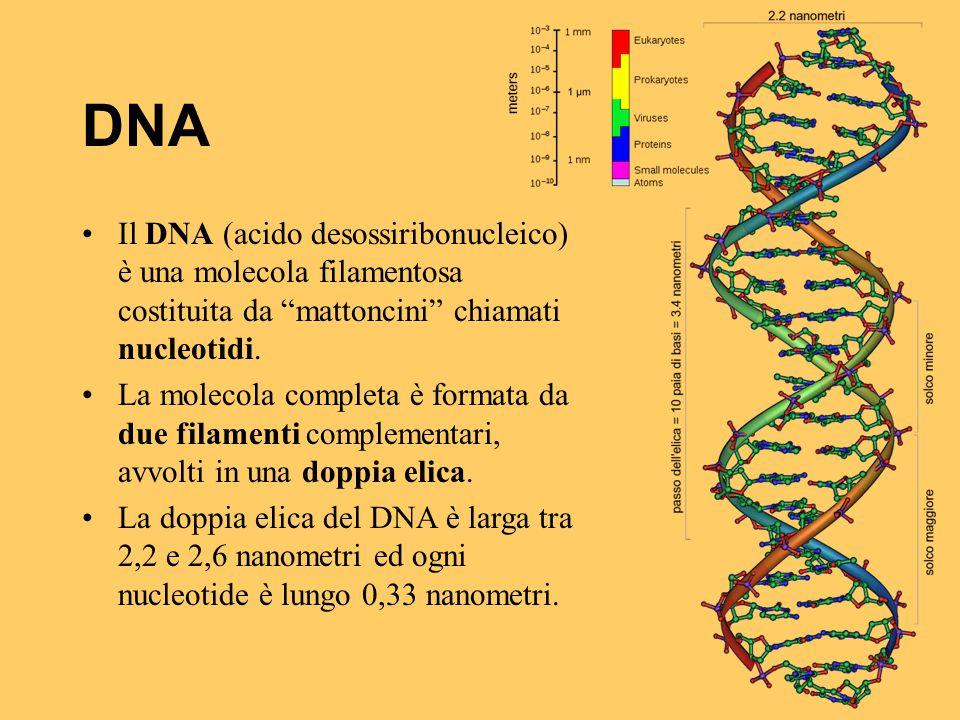 DNA Il DNA (acido desossiribonucleico) è una molecola filamentosa costituita da mattoncini chiamati nucleotidi.
