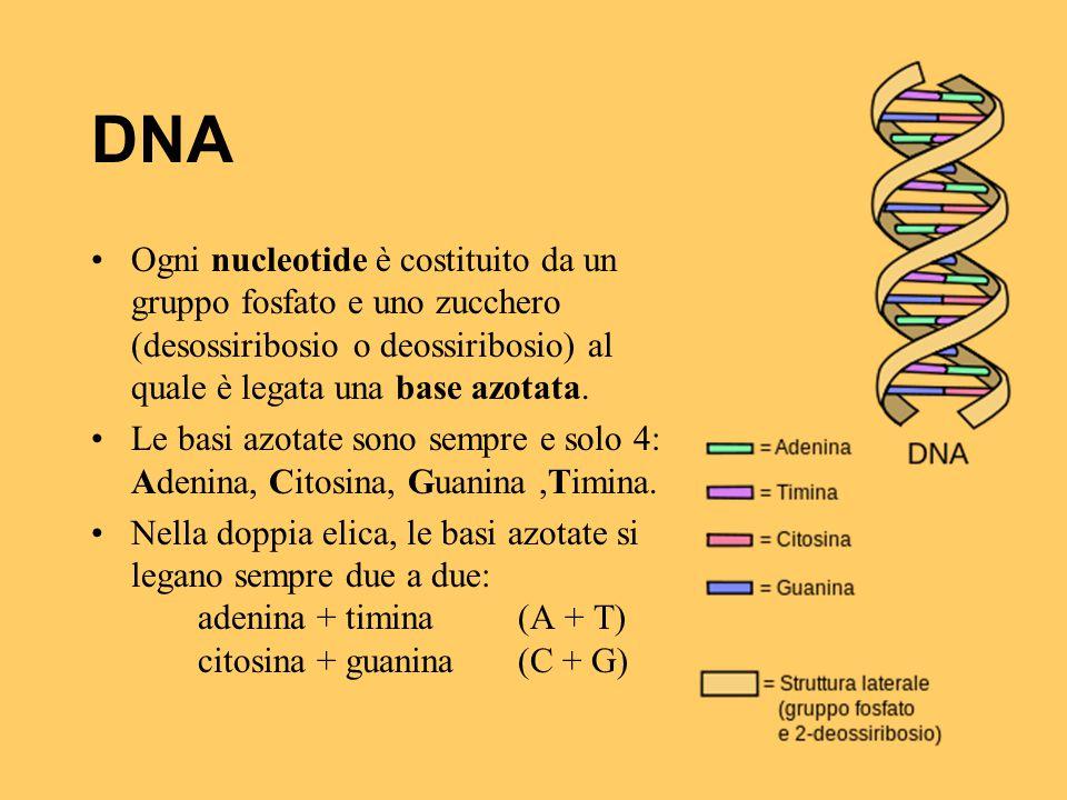 DNA Ogni nucleotide è costituito da un gruppo fosfato e uno zucchero (desossiribosio o deossiribosio) al quale è legata una base azotata.