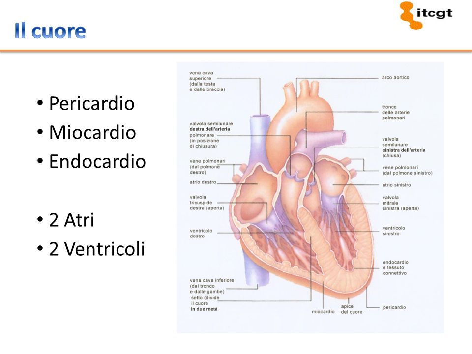Il cuore Pericardio Miocardio Endocardio 2 Atri 2 Ventricoli