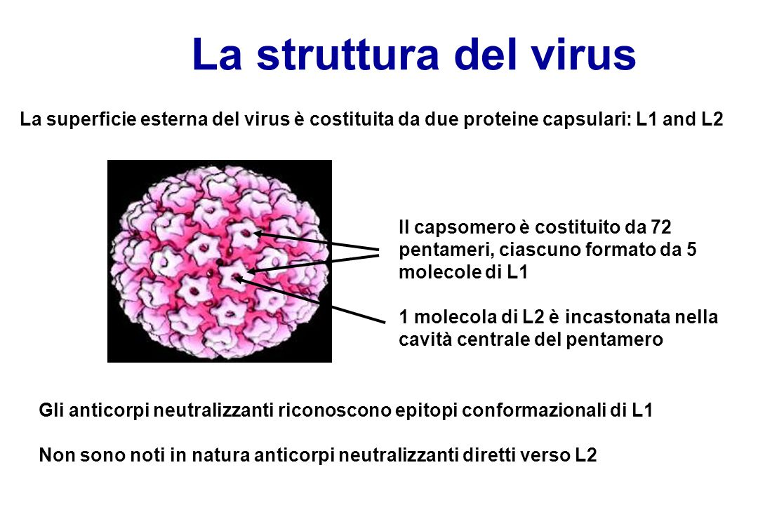 La struttura del virus La superficie esterna del virus è costituita da due proteine capsulari: L1 and L2.