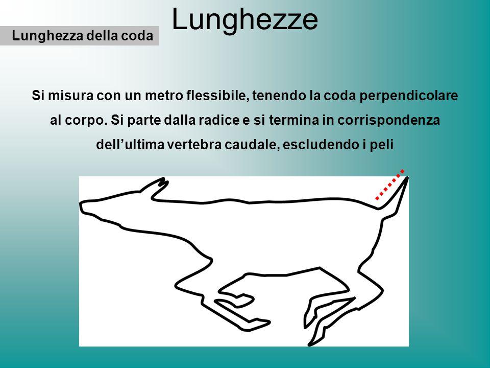 Lunghezze Lunghezza della coda