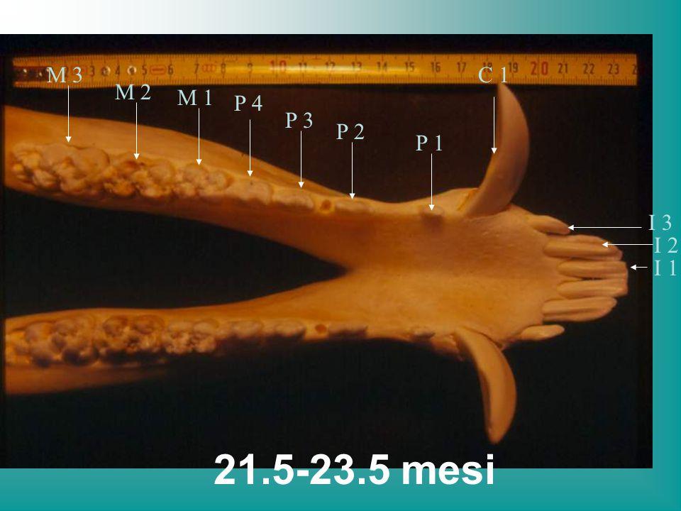 M 3 C 1 M 2 M 1 P 4 P 3 P 2 P 1 I 3 I 2 I 1 21.5-23.5 mesi