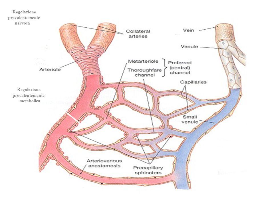 Regolazione prevalentemente nervosa Regolazione prevalentemente metabolica