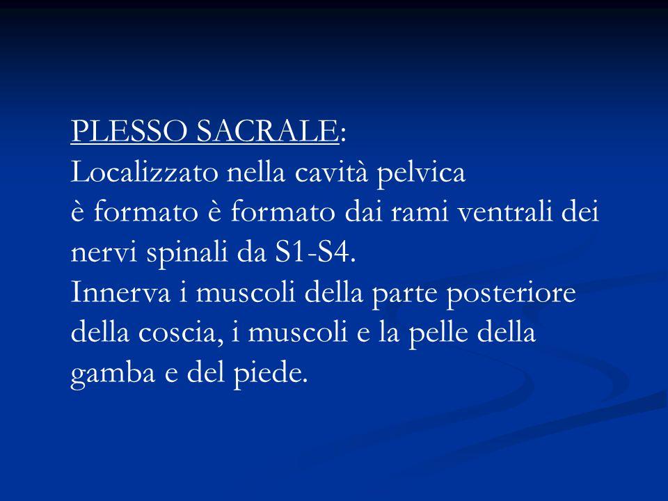 PLESSO SACRALE: Localizzato nella cavità pelvica. è formato è formato dai rami ventrali dei. nervi spinali da S1-S4.