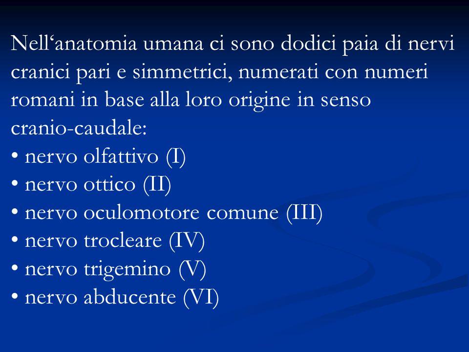 Nell'anatomia umana ci sono dodici paia di nervi