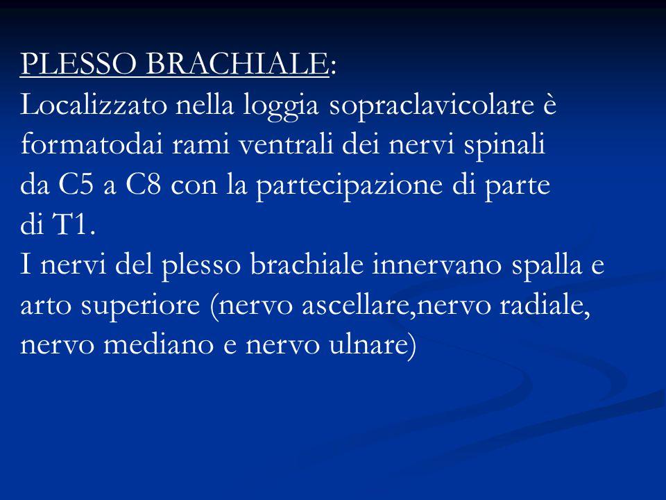 PLESSO BRACHIALE: Localizzato nella loggia sopraclavicolare è formatodai rami ventrali dei nervi spinali.