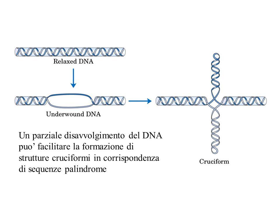 Un parziale disavvolgimento del DNA