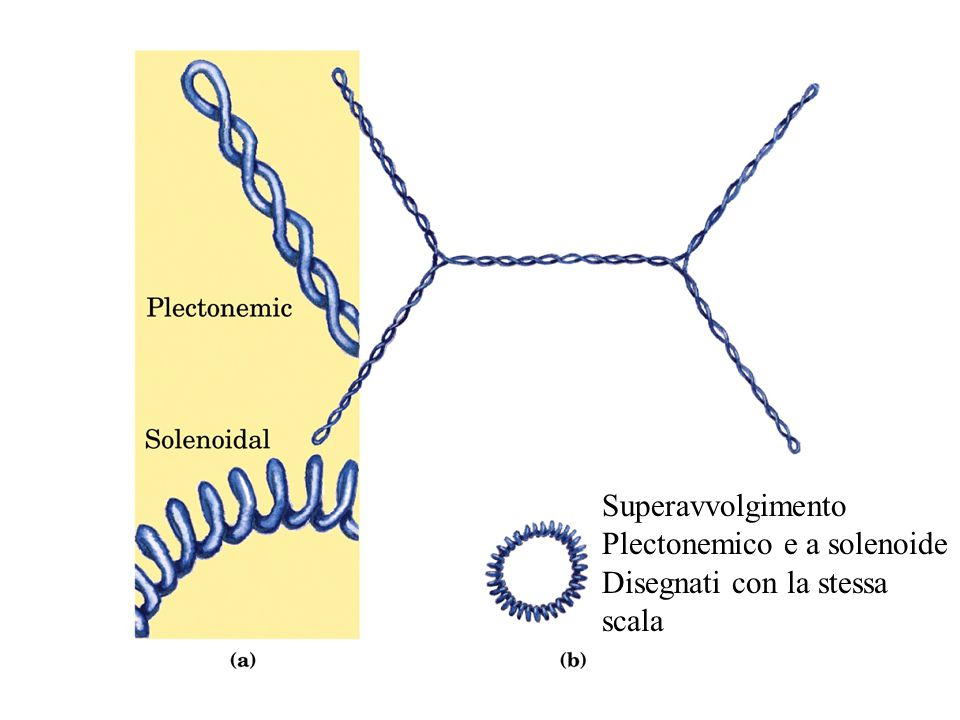Superavvolgimento Plectonemico e a solenoide Disegnati con la stessa scala
