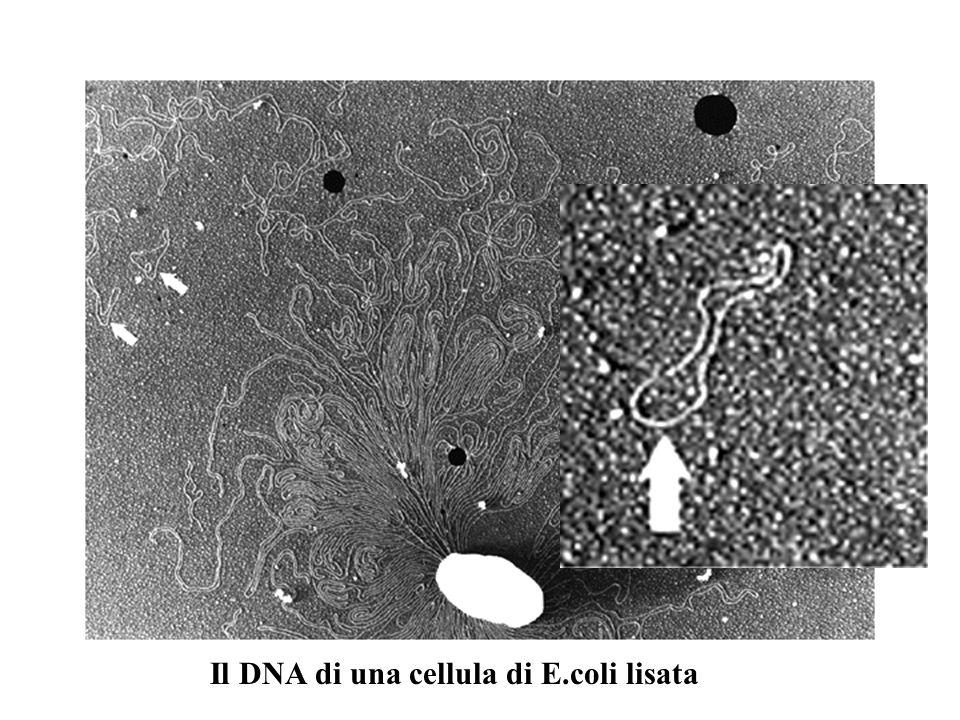 Il DNA di una cellula di E.coli lisata