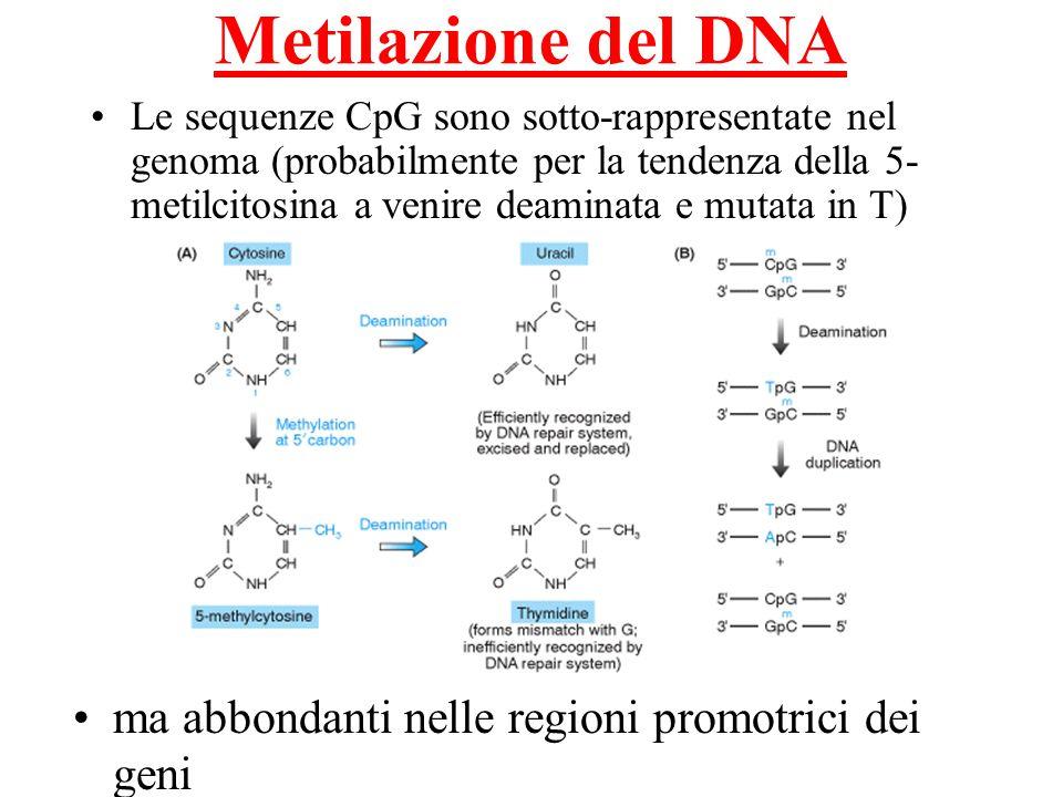 Metilazione del DNA ma abbondanti nelle regioni promotrici dei geni